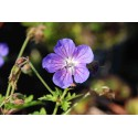 Geranium 'Irish Blue'