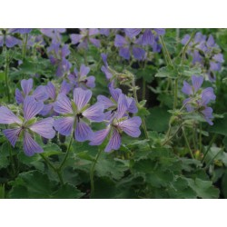 Geranium 'Phillippe Vapelle'