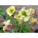 Geum rivale 'Lemon drops'