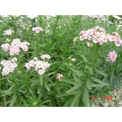 Achillea alpina camtschatica 'Love Parade'