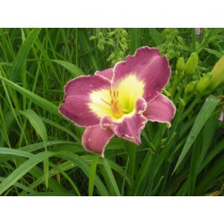 Hemerocallis 'Strutter's ball'
