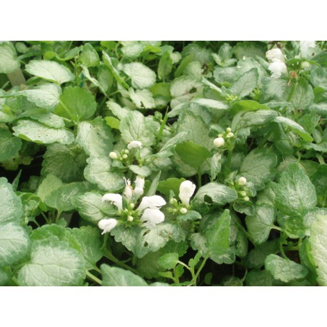 Lamium maculatum 'White Nancy'
