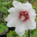Lavatera x clementii 'Barnsley'
