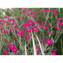 Lychnis 'Hills ground'