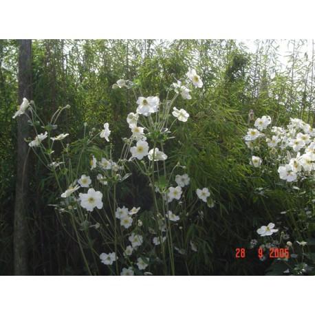 Anemone x.hybrida 'Géante Blanche'