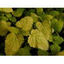 Melissa officinalis 'All Gold'