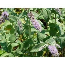 Mentha longifolia 'Buddleia Mint Group'
