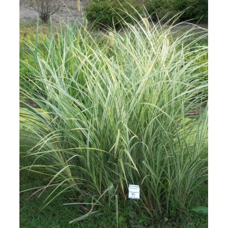 miscanthus sinensis 39 variegatus 39 roseau de chine gramin e vivace. Black Bedroom Furniture Sets. Home Design Ideas