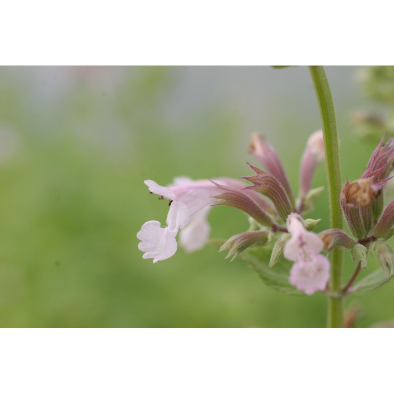 Nepeta grandiflora 39 dawn to dusk 39 herbe chat n p ta rose vivace - Herbe a chat seche ...
