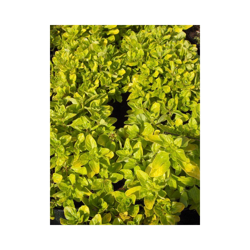 Origanum vulgare 39 thumble 39 s variety 39 origan dor couvre for Solde plante jardin