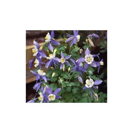 Aquilegia coerulea 'Blue Star'