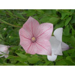 Platycodon grandiflorus 'Fuji Pink'