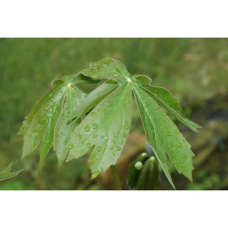Podophyllum peltatum achat vente en ligne de plantes for Achat plantes jardin en ligne
