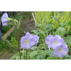 Polemonium x richardsonii