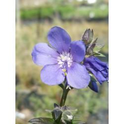 Polemonium yezoense var. hidakanum 'Purple Rain'
