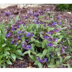 Pulmonaria saccharata 'Mrs Moon'