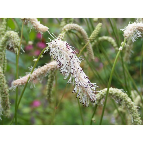Sanguisorba parviflora 'Stand Up Comedian'