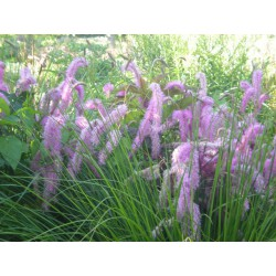 Sanguisorba 'Lilac Squirrel'
