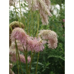 Sanguisorba 'Pink brushes'