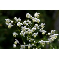 Thalictrum 'Splendide Album'