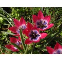 Tulipa 'Little Beauty'