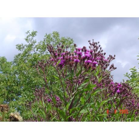Vernonia crinita 'Mammuth'