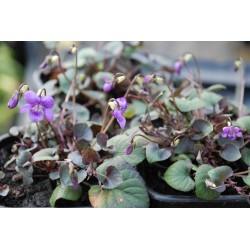 Viola riviniana 'Groupe Purpurea'