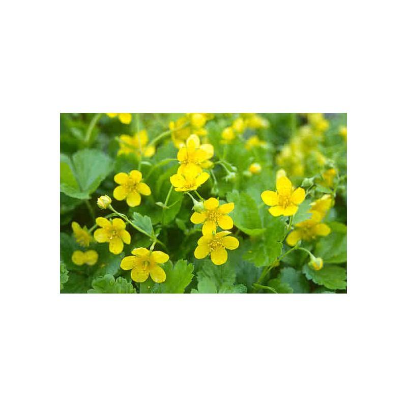 Waldsteinia ternata bonne plante couvre sol achat vente for Achat plante en ligne
