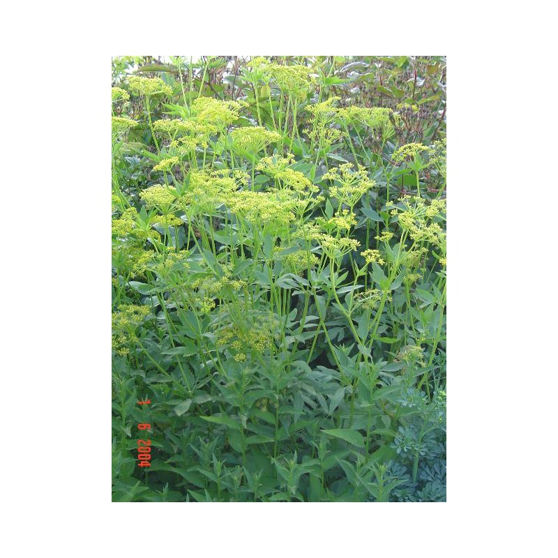 Zizia aurea ombellif re plante vivace achat vente en ligne for Achat plante en ligne