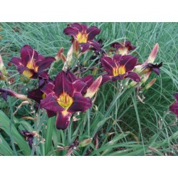 Hemerocallis 'Night Beacon'