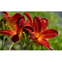 Hemerocallis 'Berlin Red Velvet'