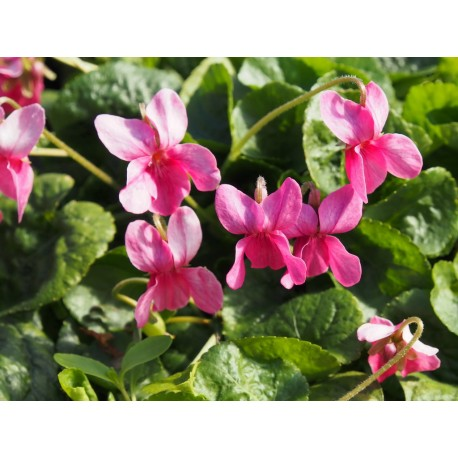 Viola odorata 'Coeur d'Alsace'