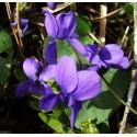 Viola odorata 'Cendrillon'