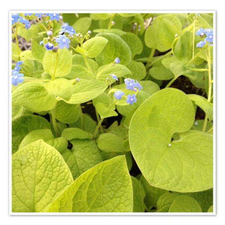 Brunnera macrophylla 'Green Gold'