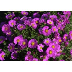 Aster dumosus 'Star Light'