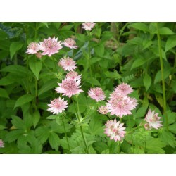 Astrantia major 'Roma' ®
