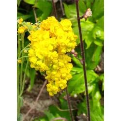 Aurinia saxatilis 'Flore Pleno'