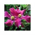 Clematis integrifolia 'Inspiration (R) Zoin'