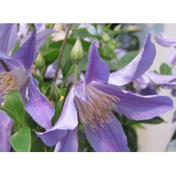 Clematis integrifolia 'Blue River'