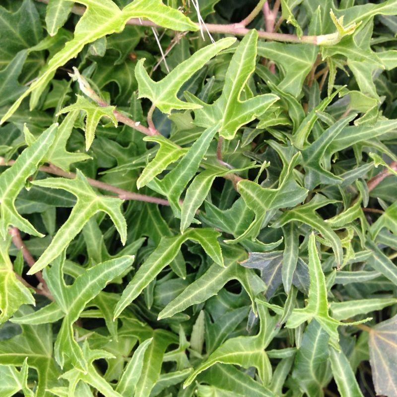 Hedera helix 39 sagittifolia 39 lierre achat vente en ligne for Achat plante en ligne