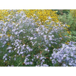 Aster cordifolius 'Blue Haven'