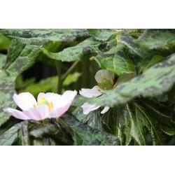 Podophyllum hexandrum 'Majus'