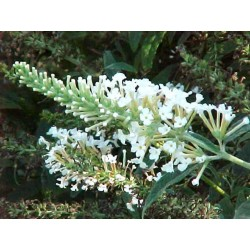 Buddleja white ball