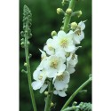 Verbascum phoeniceum 'Flush of White'