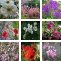 Pack : collection de plantes vivaces anciennes