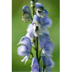 Aconitum 'Stainless Steel'