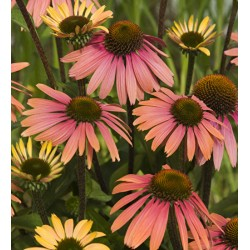 Echinacea 'Summer Cocktail'