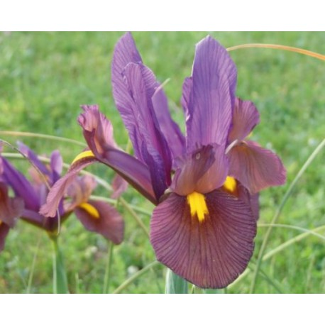 Iris Hollandicum 'Oeil tu Tigre'