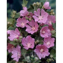 Lavatera  'Summer Kisses'