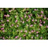 Persicaria runcinata 'Needham's form'